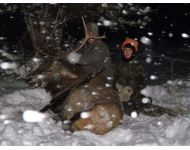 2012 Montana Bull Elk in the Snow
